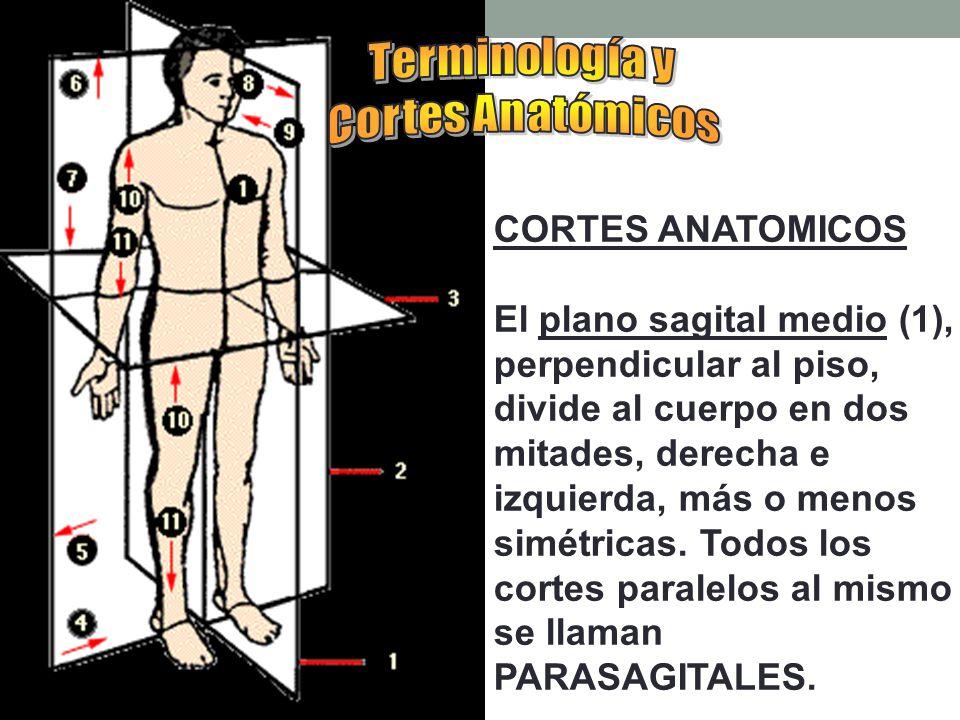Terminología y Cortes Anatómicos. CORTES ANATOMICOS.