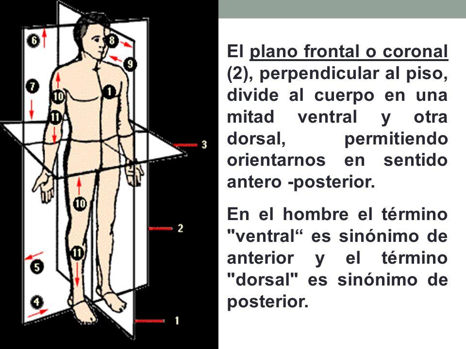 El plano frontal o coronal (2), perpendicular al piso, divide al cuerpo en una mitad ventral y otra dorsal, permitiendo orientarnos en sentido antero -posterior.
