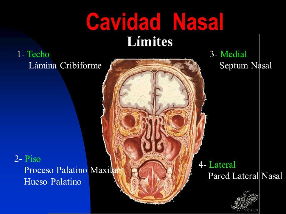 Manejo de rinitis y rinosinusitis ppt video online descargar for Pared lateral de la cavidad nasal