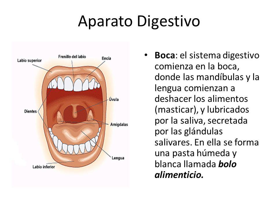 Excelente Funciones Del Sistema Digestivo Motivo - Anatomía de Las ...