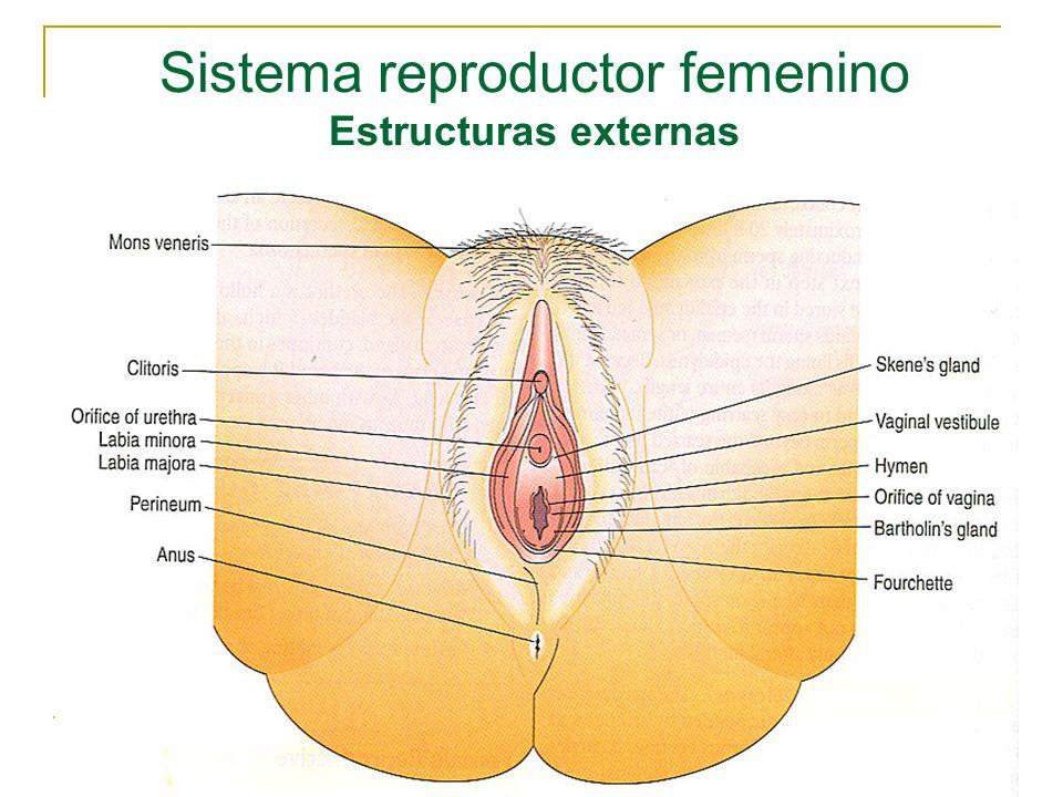 Asombroso Diagrama Del Sistema Reproductivo Femenino Externo Foto ...