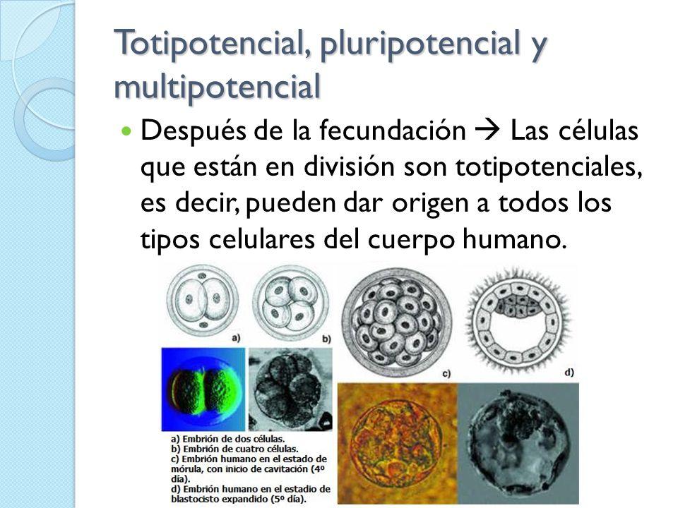 Totipotencial, pluripotencial y multipotencial