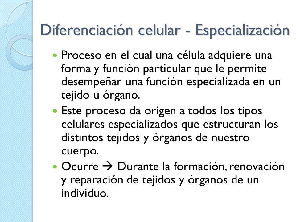 Diferenciación celular - Especialización