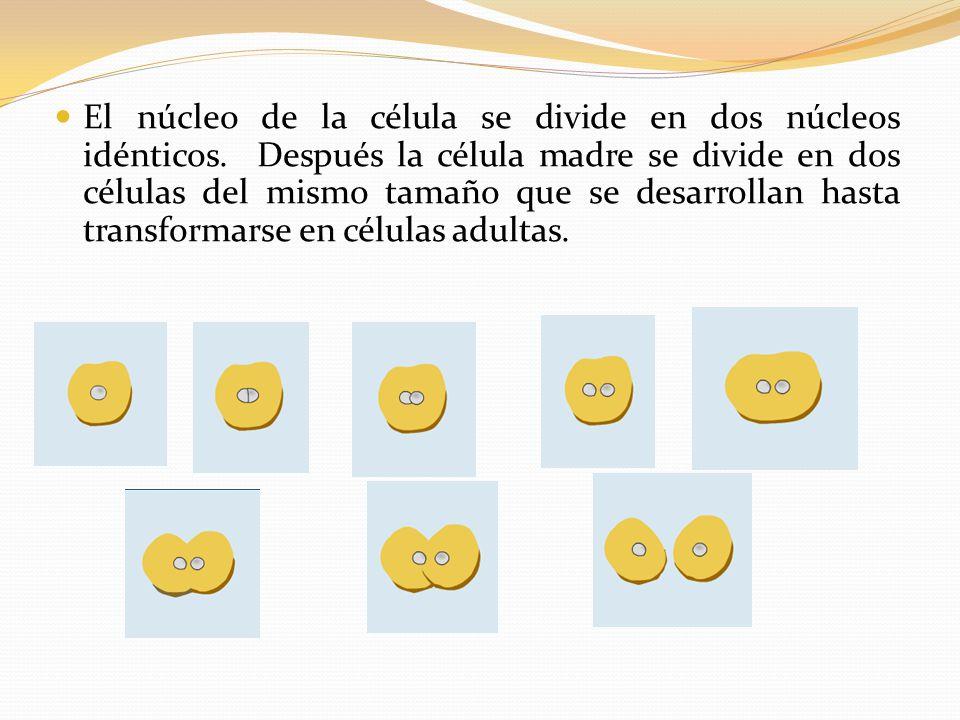 El núcleo de la célula se divide en dos núcleos idénticos