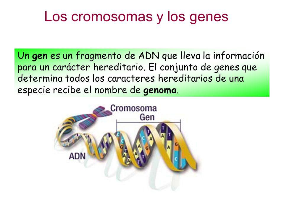 Los cromosomas y los genes ppt descargar for Pececillo nuevo de cualquier especie