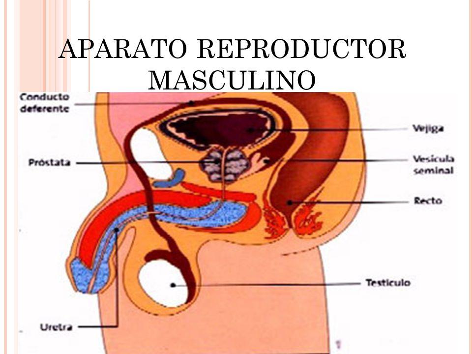 Excepcional Etiqueta Del Sistema Reproductor Masculino Imagen ...
