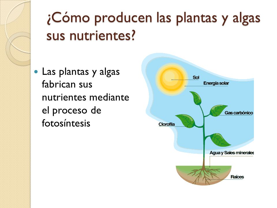 las plantas y algas producen su alimento ppt video