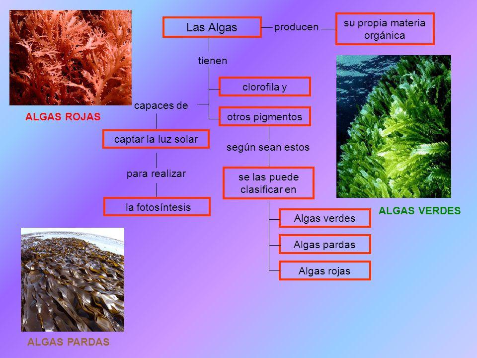 Las Algas su propia materia orgánica producen tienen clorofila y