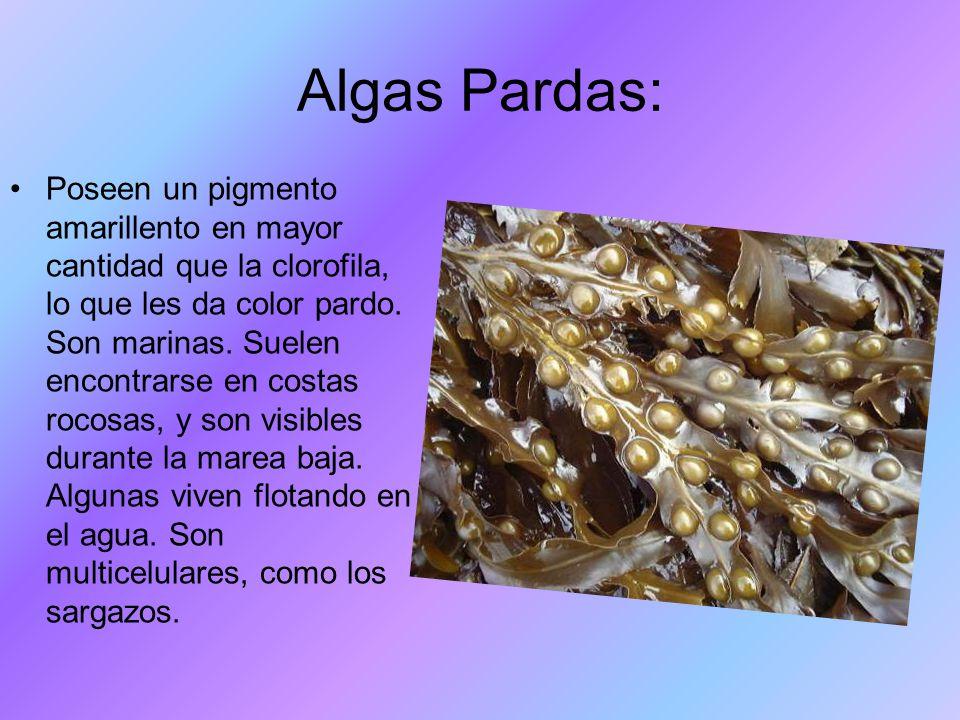 Algas Pardas: