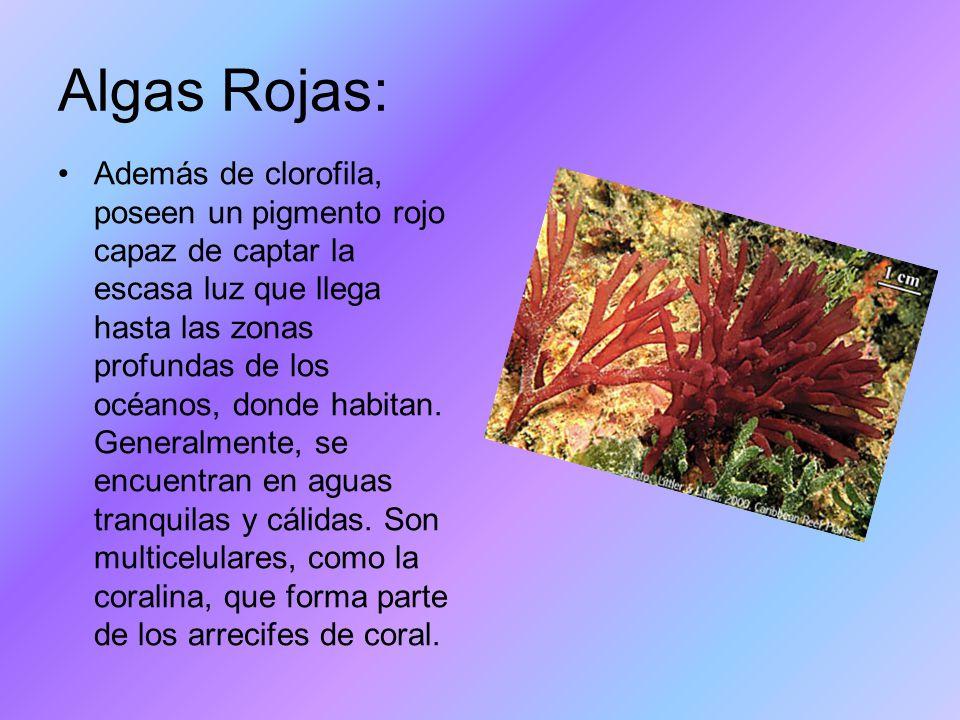 Algas Rojas: