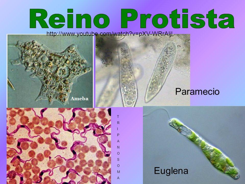 Reino Protista Paramecio Euglena