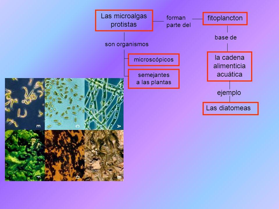 Las microalgas protistas fitoplancton