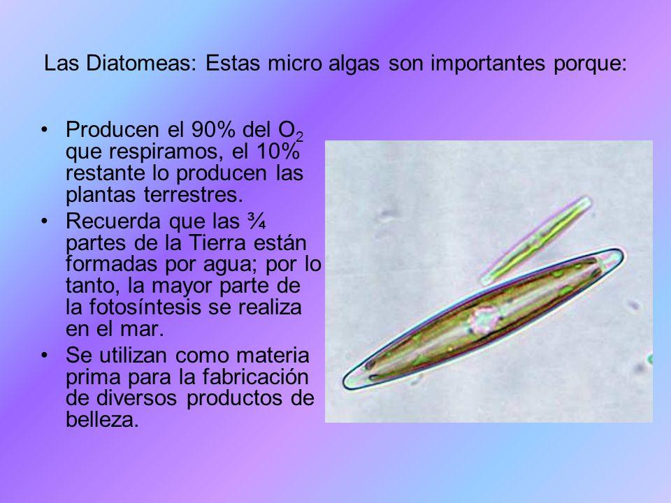 Las Diatomeas: Estas micro algas son importantes porque:
