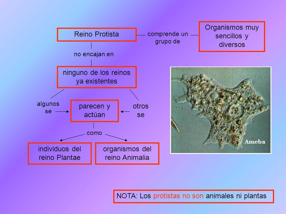 Organismos muy sencillos y diversos Reino Protista