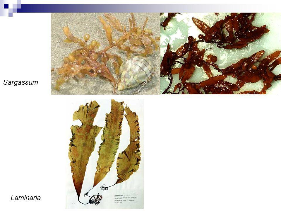 Sargassum Laminaria