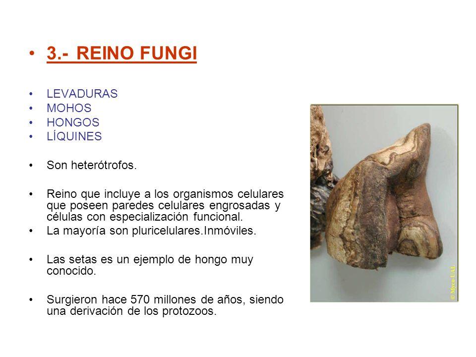 3.- REINO FUNGI LEVADURAS MOHOS HONGOS LÍQUINES Son heterótrofos.