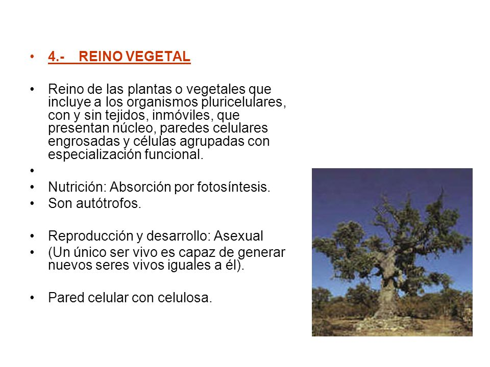 4.- REINO VEGETAL