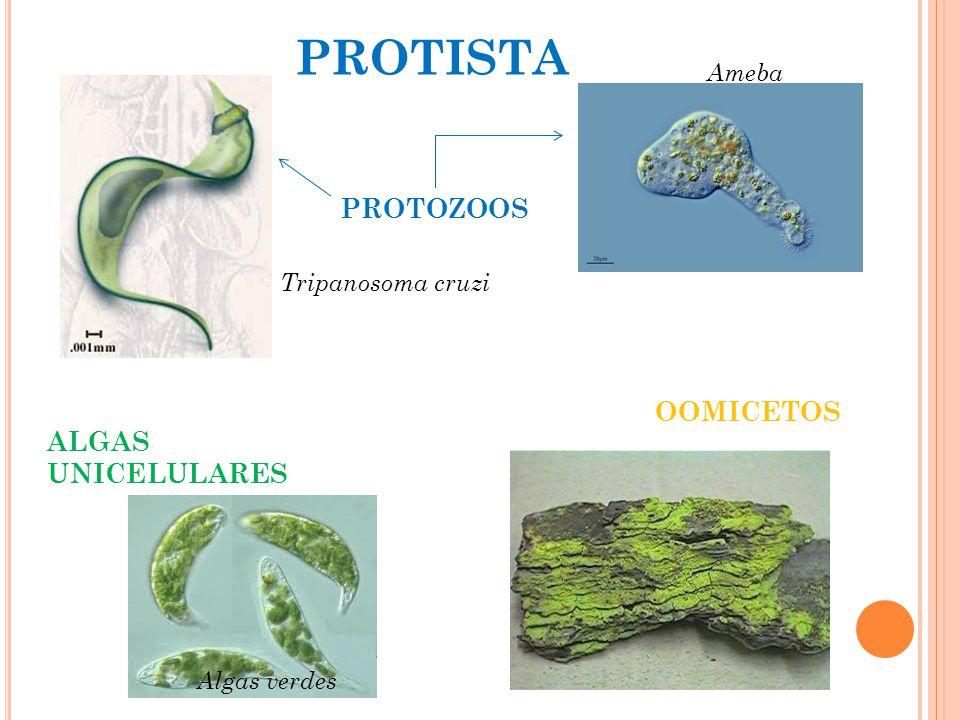 PROTISTA PROTOZOOS OOMICETOS ALGAS UNICELULARES Ameba