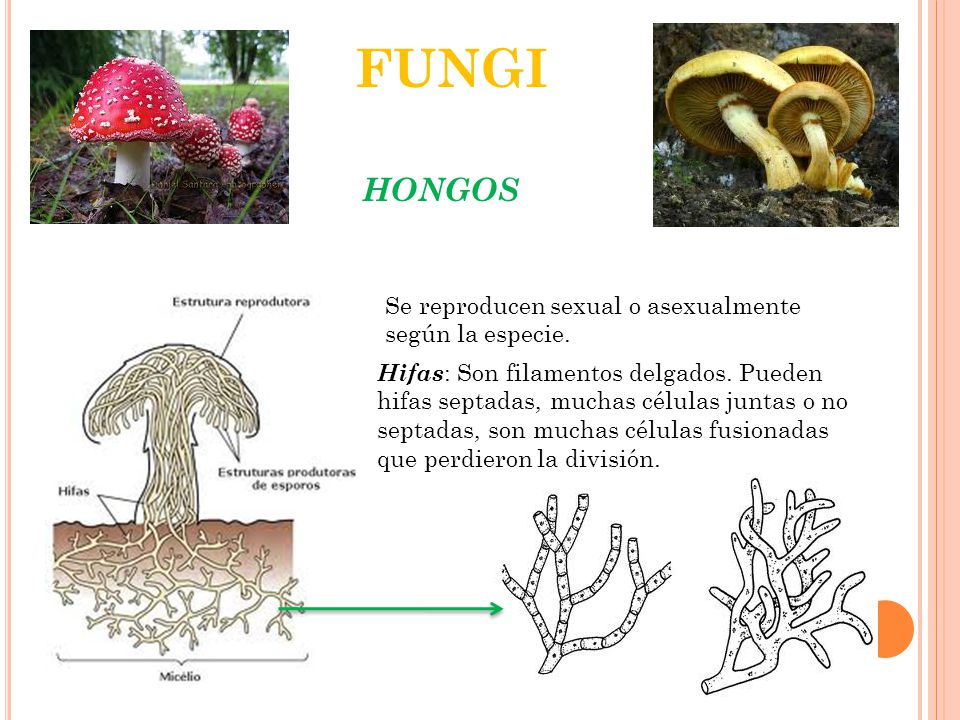 FUNGI HONGOS Se reproducen sexual o asexualmente según la especie.
