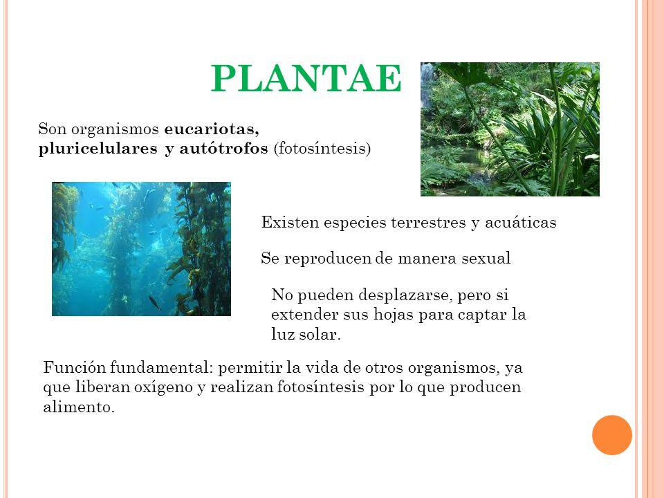 PLANTAE Son organismos eucariotas, pluricelulares y autótrofos (fotosíntesis) Existen especies terrestres y acuáticas.