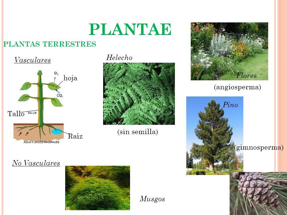PLANTAE PLANTAS TERRESTRES Helecho Vasculares Flores hoja
