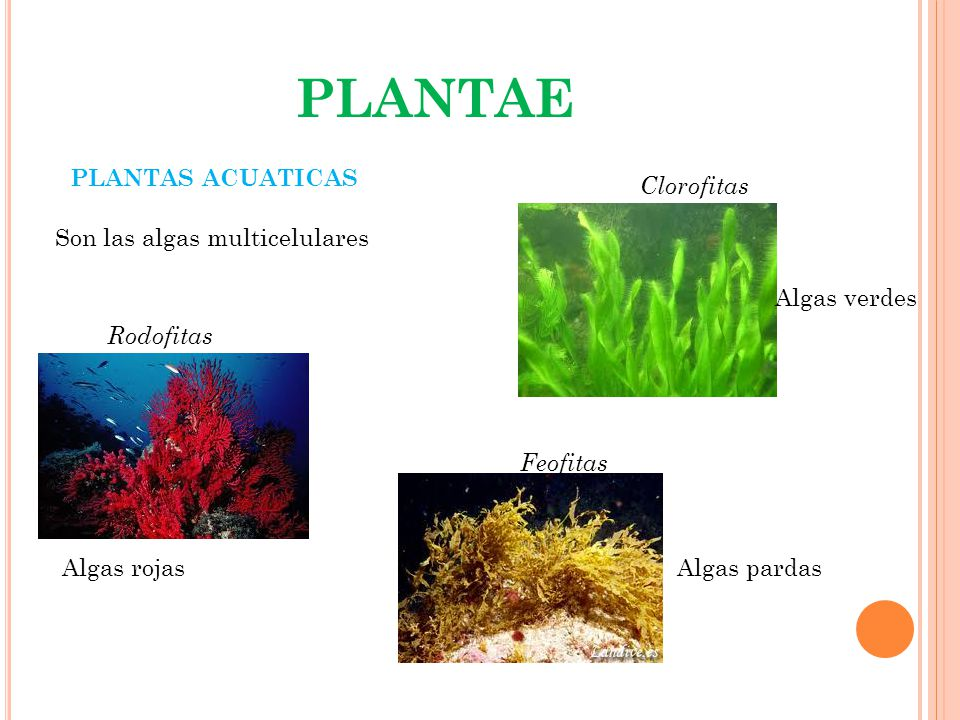 PLANTAE PLANTAS ACUATICAS Clorofitas Son las algas multicelulares