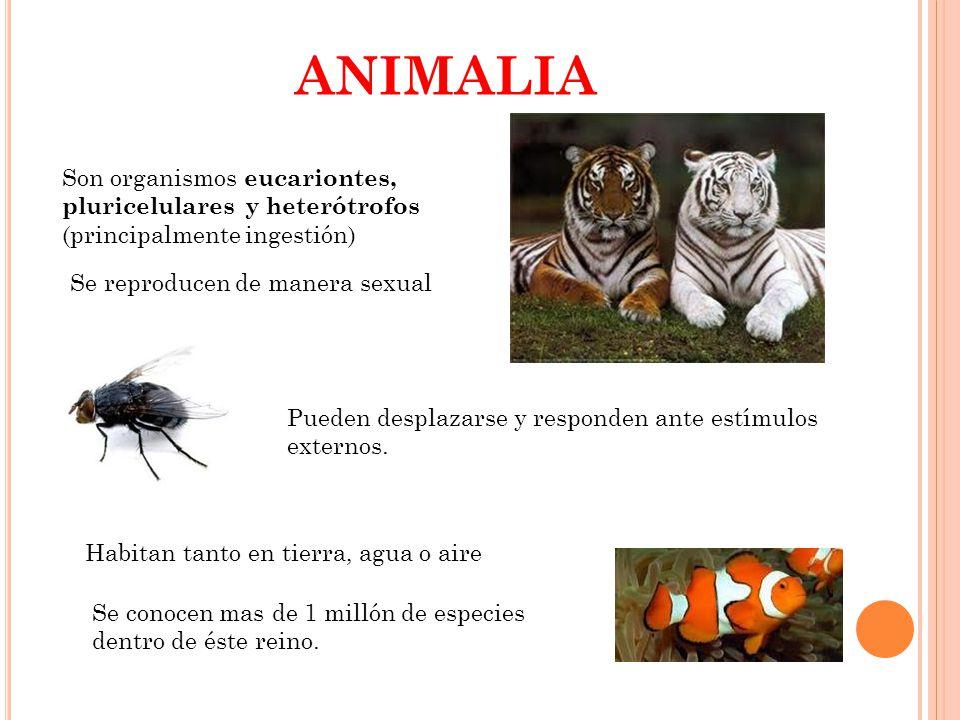 ANIMALIA Son organismos eucariontes, pluricelulares y heterótrofos (principalmente ingestión) Se reproducen de manera sexual.