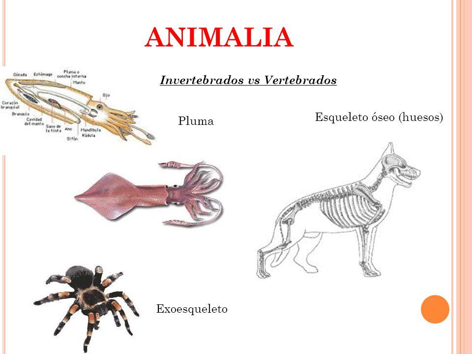 ANIMALIA Invertebrados vs Vertebrados Esqueleto óseo (huesos) Pluma