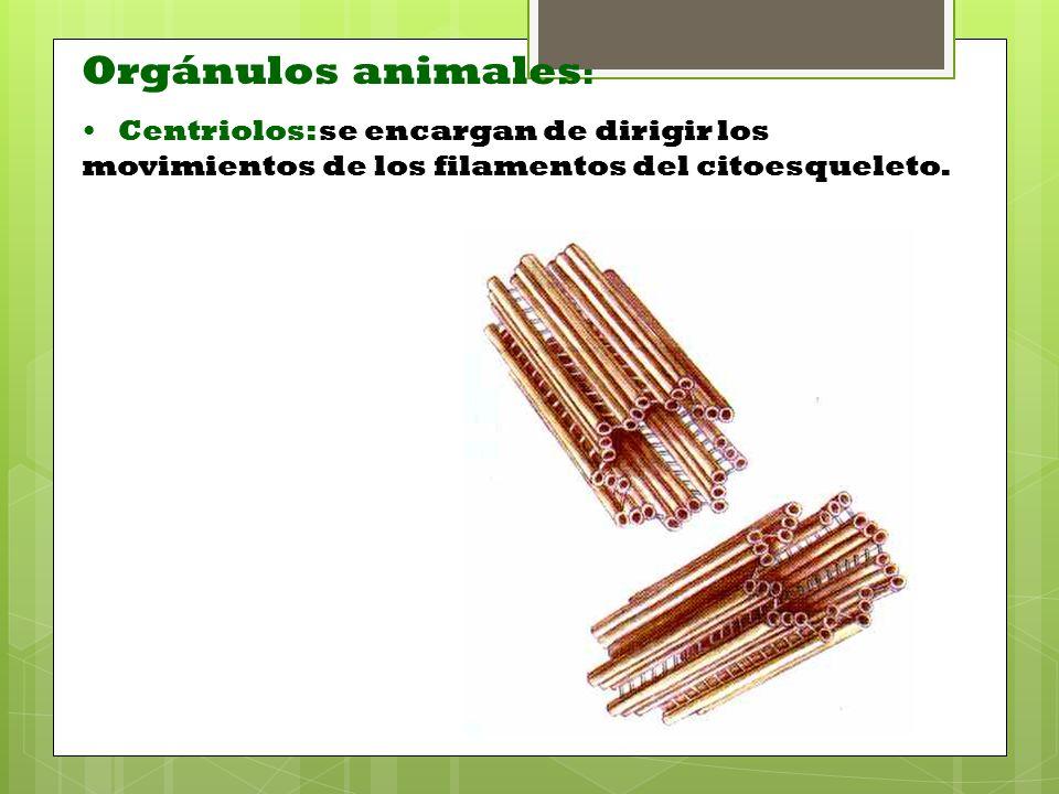 Orgánulos animales: Centriolos: se encargan de dirigir los movimientos de los filamentos del citoesqueleto.