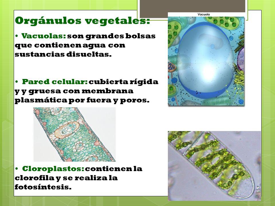 Orgánulos vegetales: Vacuolas: son grandes bolsas que contienen agua con sustancias disueltas.