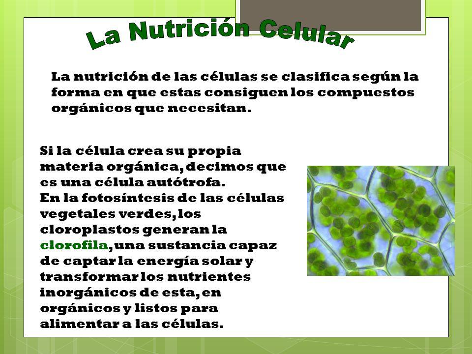 La Nutrición Celular La nutrición de las células se clasifica según la forma en que estas consiguen los compuestos orgánicos que necesitan.