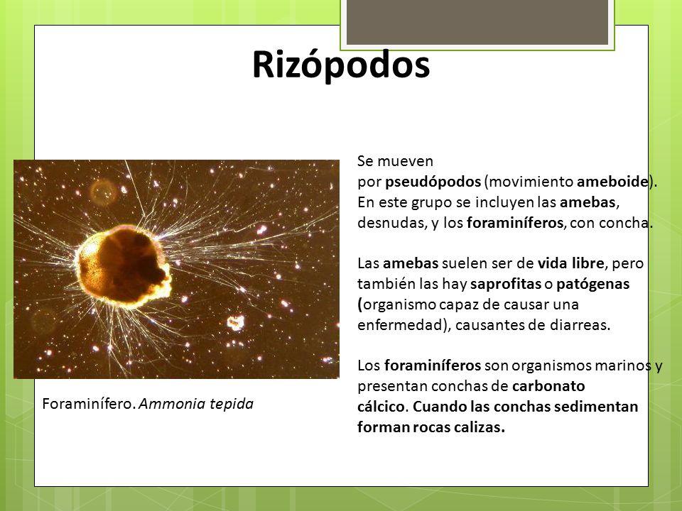 Rizópodos Se mueven. por pseudópodos (movimiento ameboide). En este grupo se incluyen las amebas, desnudas, y los foraminíferos, con concha.