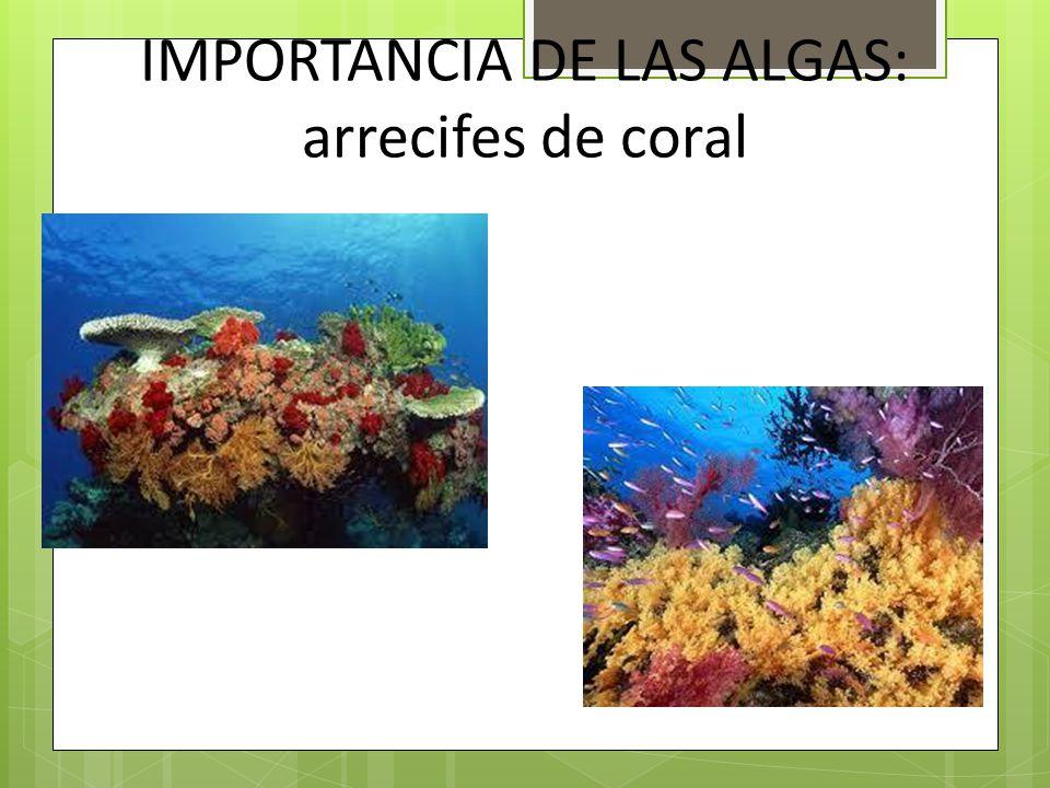 IMPORTANCIA DE LAS ALGAS: arrecifes de coral