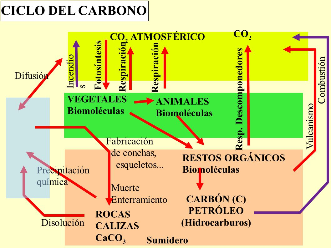 CICLO DEL CARBONO CO2 Resp. Descomponedores CO2 ATMOSFÉRICO VEGETALES