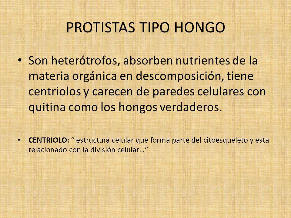 PROTISTAS TIPO HONGO