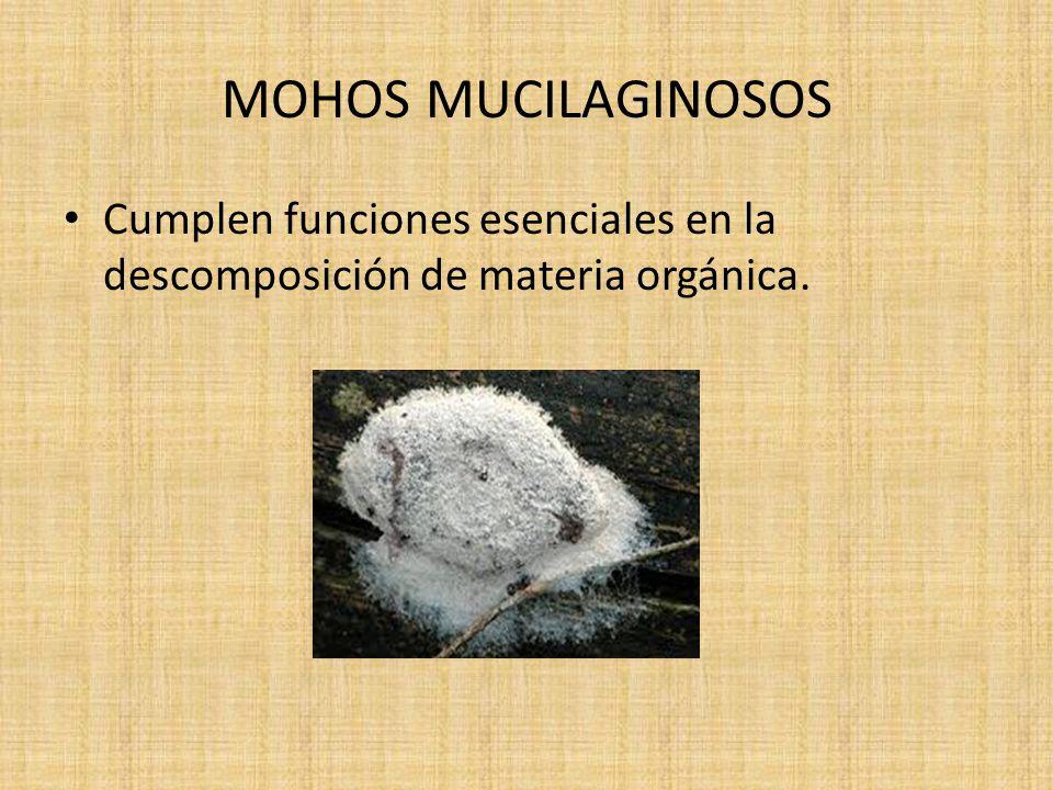 MOHOS MUCILAGINOSOS Cumplen funciones esenciales en la descomposición de materia orgánica.