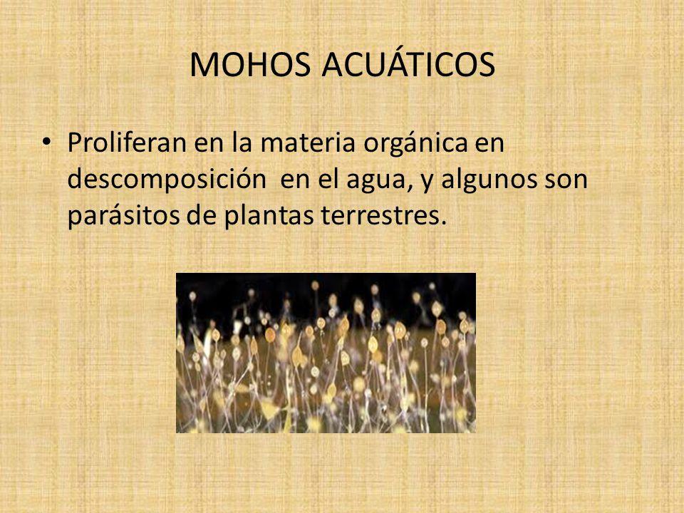 MOHOS ACUÁTICOS Proliferan en la materia orgánica en descomposición en el agua, y algunos son parásitos de plantas terrestres.