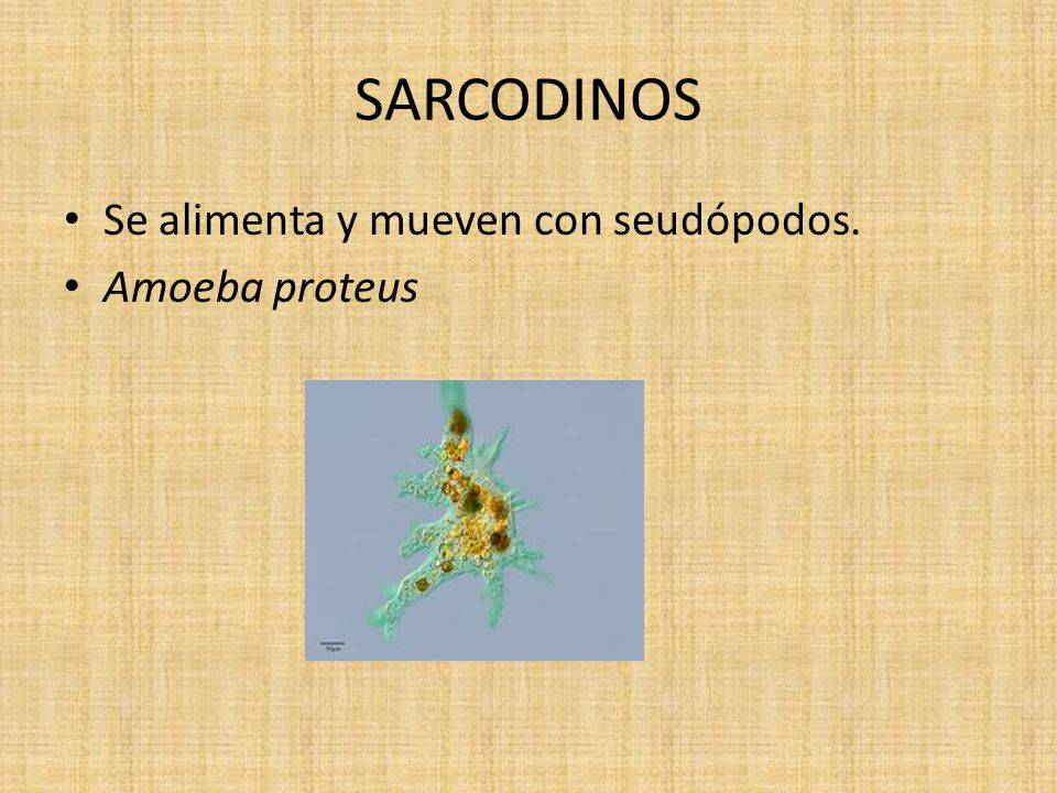 SARCODINOS Se alimenta y mueven con seudópodos. Amoeba proteus