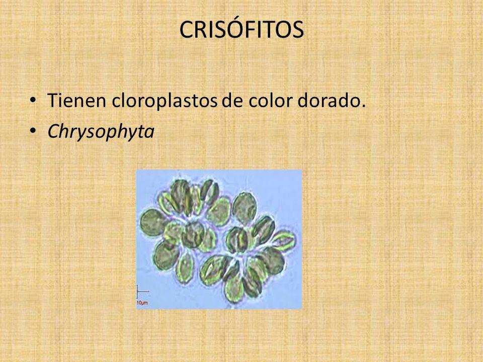 CRISÓFITOS Tienen cloroplastos de color dorado. Chrysophyta