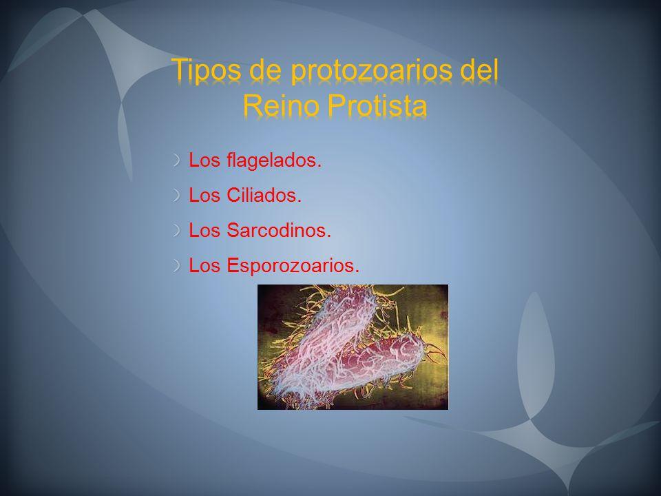 Tipos de protozoarios del Reino Protista