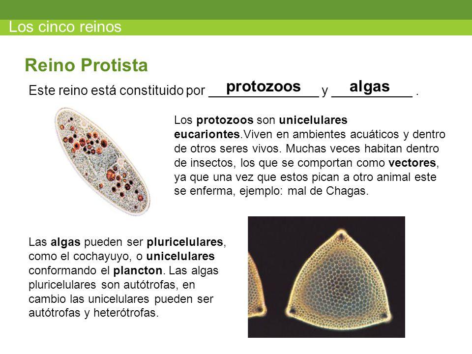 Reino Protista Los cinco reinos protozoos algas