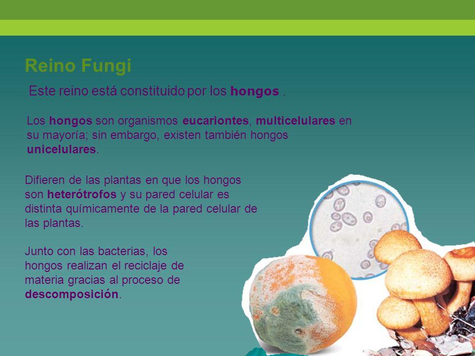Reino Fungi Este reino está constituido por los hongos .