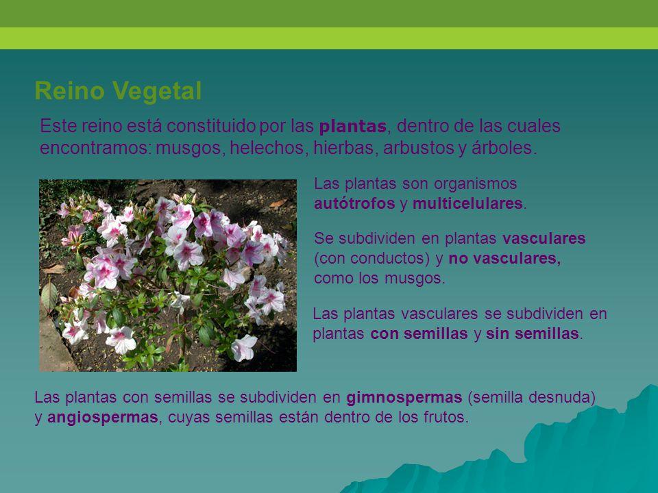 Reino Vegetal Este reino está constituido por las plantas, dentro de las cuales encontramos: musgos, helechos, hierbas, arbustos y árboles.