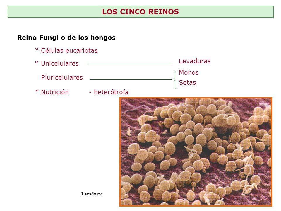 LOS CINCO REINOS Reino Fungi o de los hongos * Células eucariotas