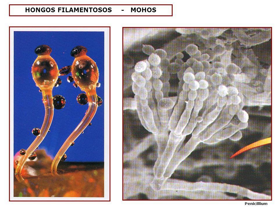 HONGOS FILAMENTOSOS - MOHOS