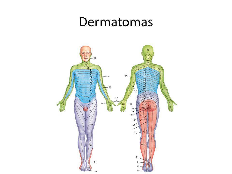 Perfecto Dermatoma Humana Viñeta - Anatomía de Las Imágenesdel ...