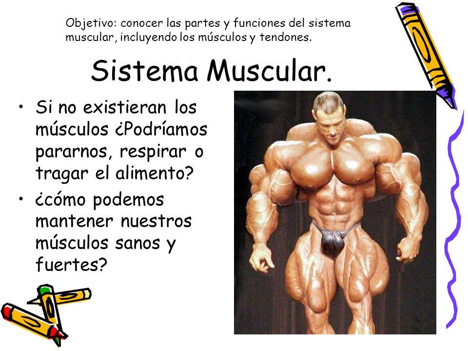 Increíble Funciones Del Sistema Muscular Bosquejo - Anatomía de Las ...