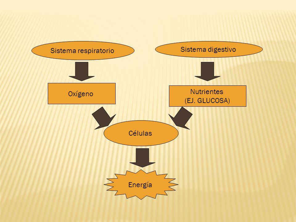 Sistema respiratorio Sistema digestivo Oxígeno Nutrientes (EJ. GLUCOSA) Células Energía