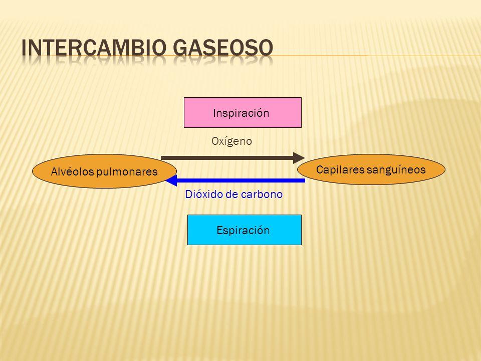 Intercambio gaseoso Inspiración Oxígeno Alvéolos pulmonares