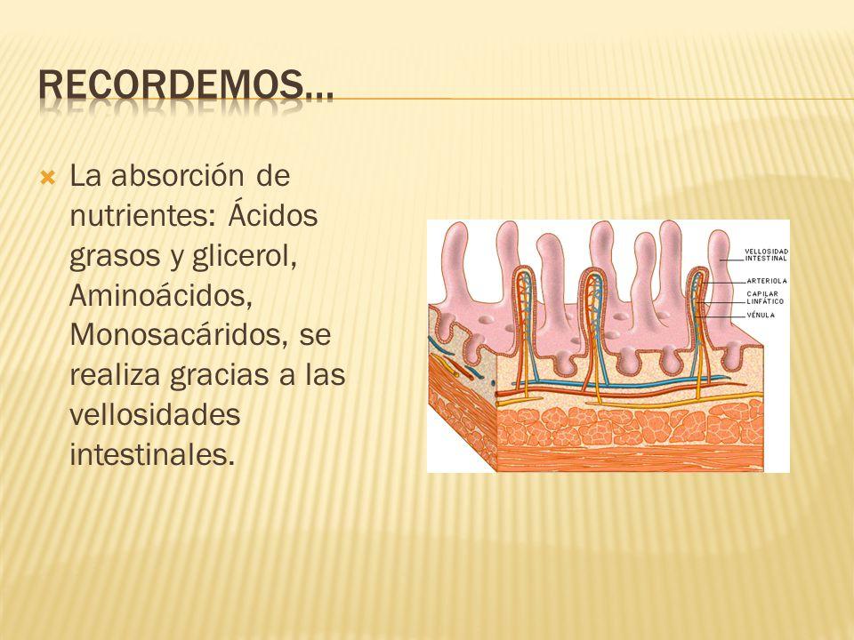 Recordemos… La absorción de nutrientes: Ácidos grasos y glicerol, Aminoácidos, Monosacáridos, se realiza gracias a las vellosidades intestinales.